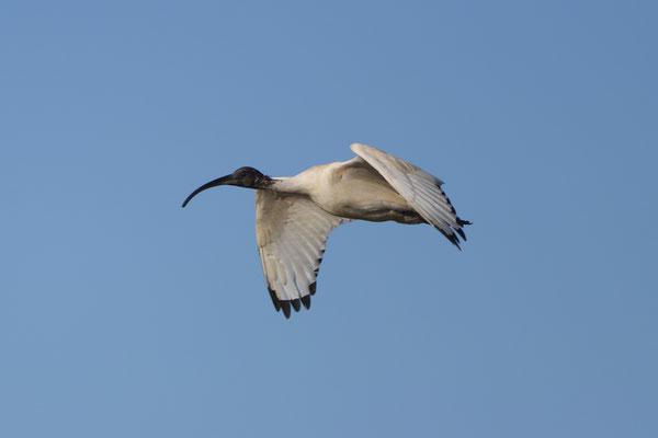 Australian white Ibis, weißer Ibis
