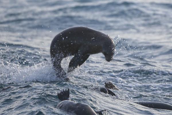 Seelöwe, Phillip Island, südlich von Melbourne