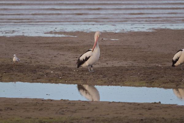 Australischer Pelikan