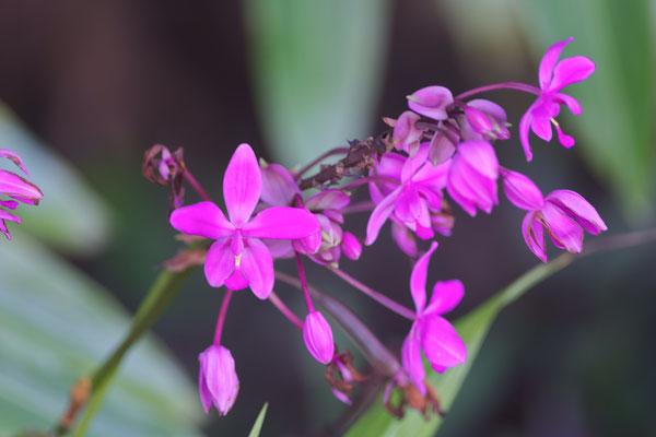 Philippine ground orchid (Spathoglottis plicata)
