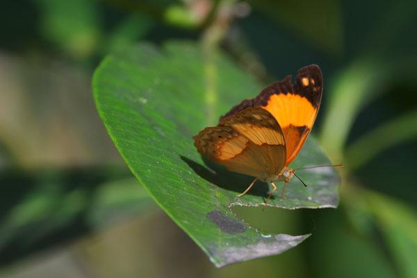 Australian Rustic (Cupha prosope)  - nicht sicher bestimmt!