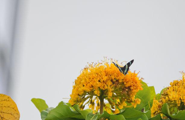 Alcides metaurus, tag-aktive Motte auf Golden bouquet tree (Deplanchea tetraphylla), Cairns