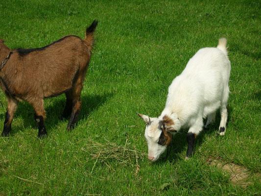 Chèvres naines DE SMET
