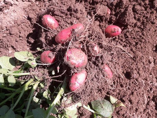 Die ersten Kartoffeln im Sommer 2019. In diesem Fall die Sorte Rosara.