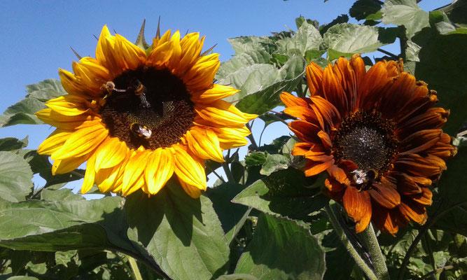 Sonnenblumen - nicht nur schön, sondern auch ein Insektenmagnet.