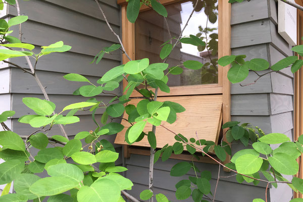 やさしい緑色のジューンベリーの葉