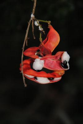 eine Fruchtdolde, Name leider unbekannt