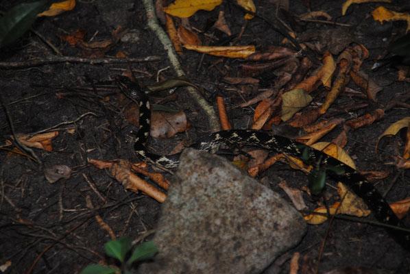 Eine der 5 hier auf Dominica lebenden - nicht giftigen- Schlangen