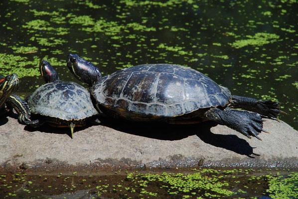 auch Tiere sonnen sich im Central Park