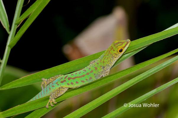 P. s. longinsulae, Männchen