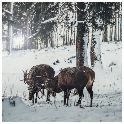 Kreative Arbeiten / kämpfende Hirsche (als Print erhältlich)