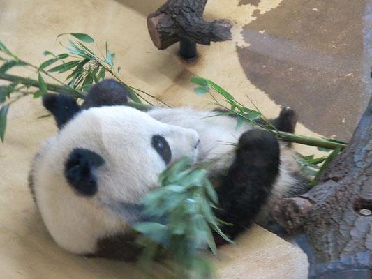 bequem liegt er da, der kleien Panda - und freut sich seines Lebens
