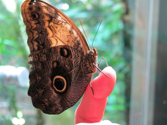 Den Schmetterling konnte ich überreden auf meinem Finger Platz zu nehmen. Leider konnte ich mit der Hand nicht fotografieren als er seine Flügel öffnete