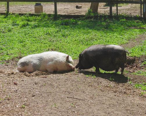 Auch Frühlingsgefühle bei Familie Schwein
