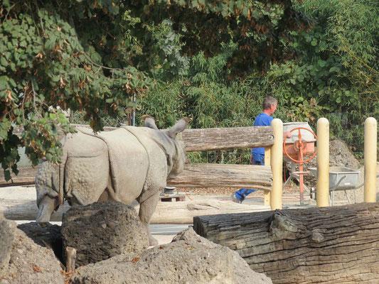 Die Nashörner beobachteten argwöhnisch die Umbauarbeiten an ihrem Gehege