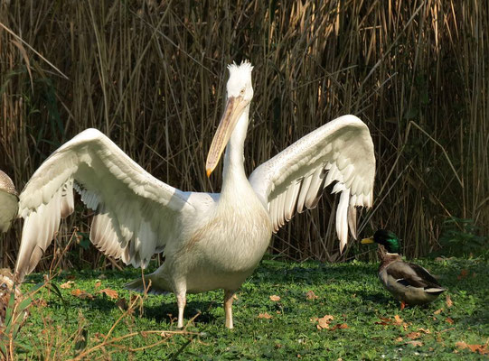 Der Herr Pelikan, hat es der Ente angetan