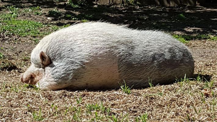 Schweine sind ja bekanntlich sehr intelligente Tiere. Das merkt man hier, wenn man sie länger beobachtet
