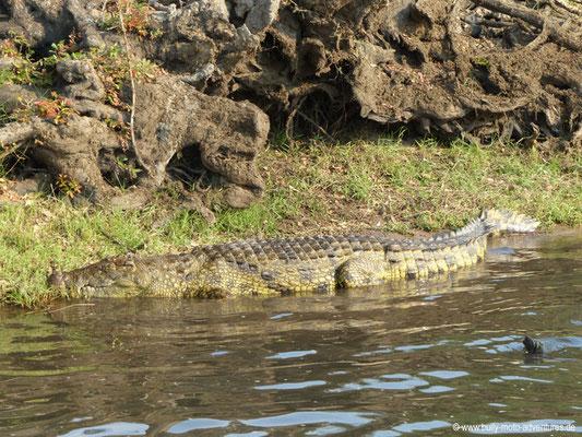 Botswana - Chobe Nationalpark - Krokodil