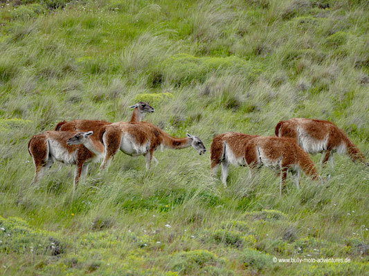 Chile - Parque Nacional Patagonia - Valle Chacabuco - Guanakos