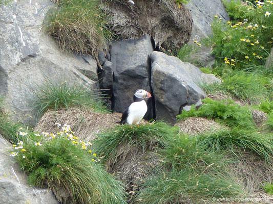 Island - Reynisfjara - Papageientaucher