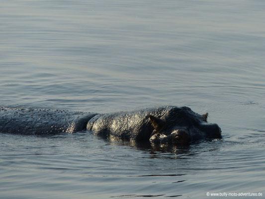 Botwana - Nilpferd im Chobe Nationalpark