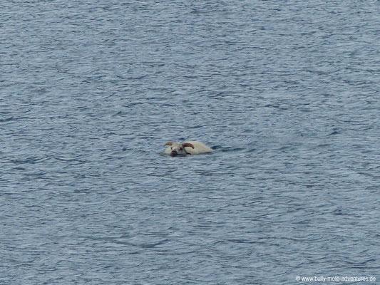 Grönland - vor Hund ins Wasser geflüchtete Schaf