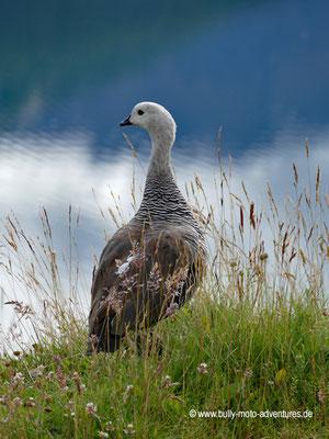 Argentinien - Parque Nacional Tierra del Fuego - Magellangans