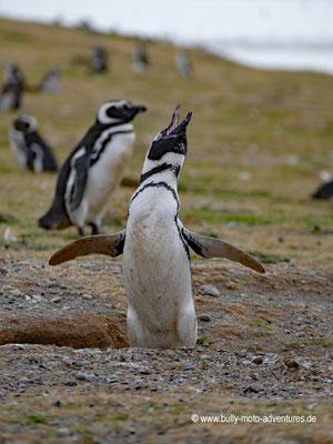Chile - Monumento Nacional Los Pingüinos - Isla Magdalena - Pinguin-Kolonie