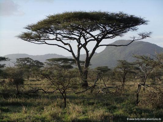 Tansania - Safari-Tour - Akazie (Serengeti)