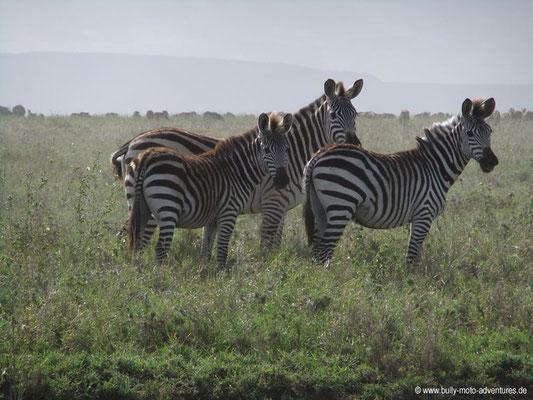 Tansania - Safari-Tour - Zebras (Serengeti)