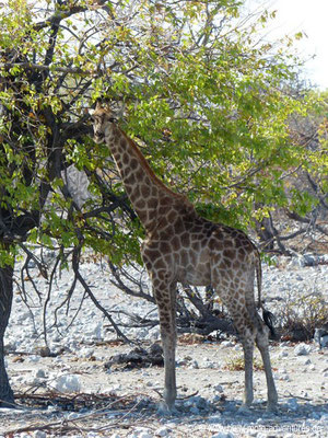Namibia - Etosha Nationalpark - Giraffe