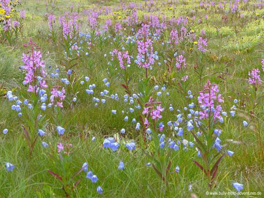 Grönland - Blumenwiese
