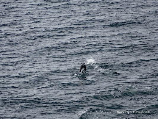 Chile - Fährfahrt von Puerto Natales nach Puerto Montt - Tag 2 - Seelöwen