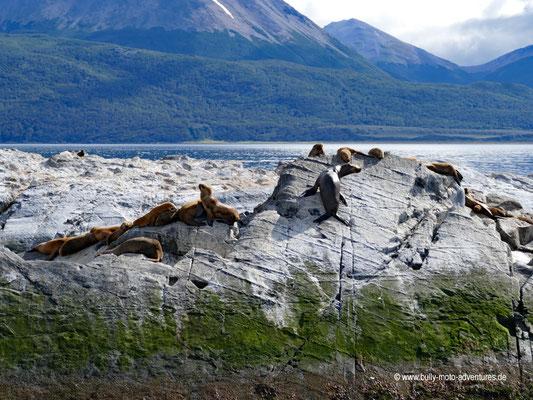 Argentinien - Seelöwen im Beagle Kanal