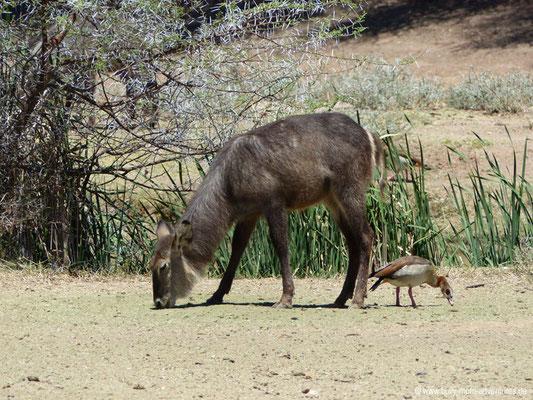 Namibia - Mt. Etjo Safari Lodge - Wasserbock
