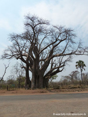 "Simbabwe - Affenbrotbaum ""The Big Tree"""