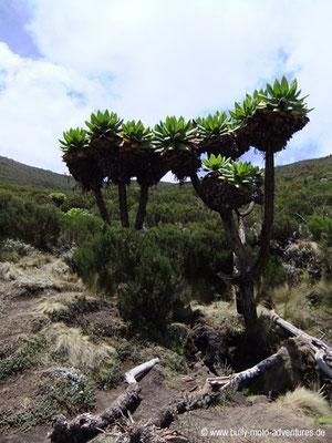 Tansania - Besteigung des Kilimanjaro - Marangu Route - Senecien