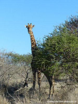 Namibia - Mt. Etjo Wildreservat - Giraffe
