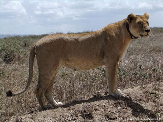 Tansania - Serengeti - Löwe