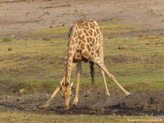 Nilpferd im Chobe Nationalpark