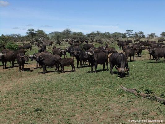 Tansania - Safari-Tour - Afrikanische Büffel (Serengeti)