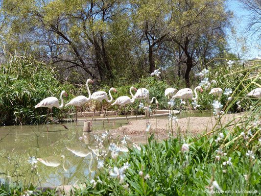 Namibia - Mt. Etjo Safari Lodge - Flamingos