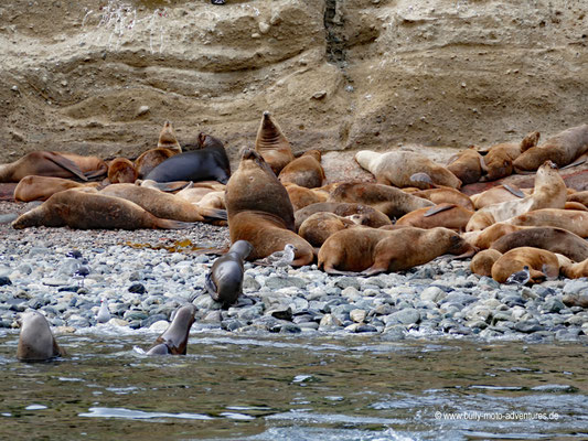 Chile - Monumento Nacional Los Pingüinos - Isla Marta - Seelöwen-Kolonie