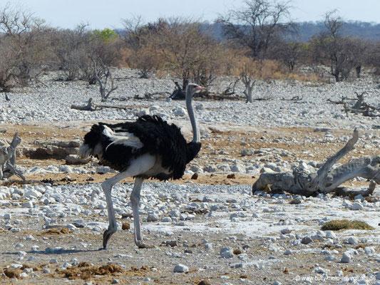Namibia - Etosha Nationalpark - Strauß