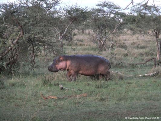Tansania - Safari-Tour - Flusspferd (Serengeti)