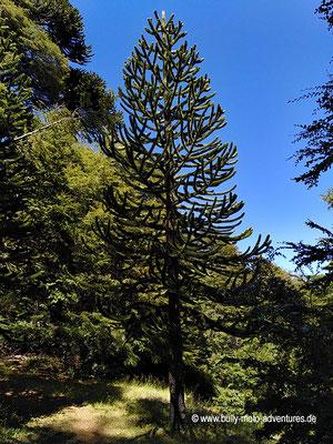 Chile - Reserva Nacional Malalcahuello - Wanderweg Piedra Santa - Araukanie