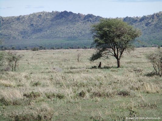 Tansania - Serengeti - Leoparden