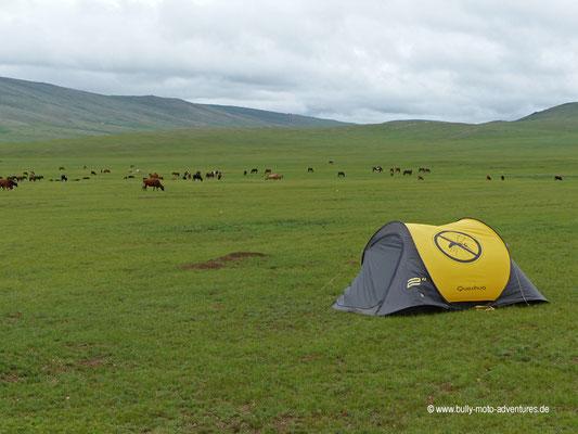Mongolei - Zelten zwischen Rindern und Pferden