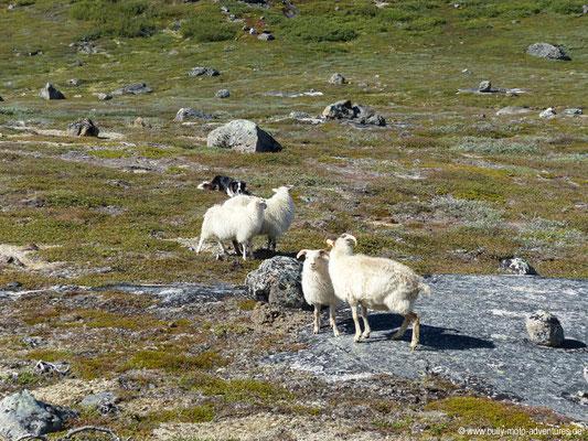 Grönland - Wanderung von Tasiusaq nach Nuugaarsuk - Schafe mit Schäferhund