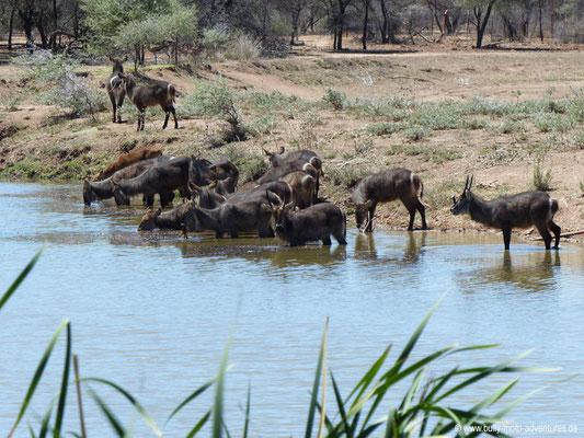 Namibia - Mt. Etjo Safari Lodge - Wasserböcke